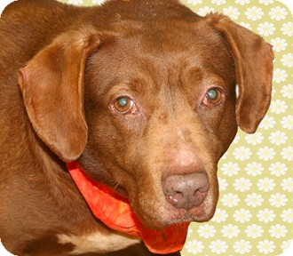 Labrador Retriever Mix Dog for adoption in Cincinnati, Ohio - Marge