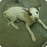 Adopt A Pet :: TITAN - Peru, IN