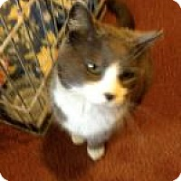 Domestic Shorthair Cat for adoption in Brainardsville, New York - Socks