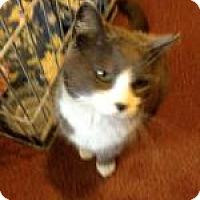 Adopt A Pet :: Socks - Brainardsville, NY