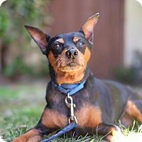 Adopt A Pet :: Starsky - Santa Monica, CA