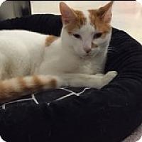 Adopt A Pet :: Strayhan - Manchester, CT