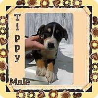 Adopt A Pet :: Tippy meet me 4/1 - Manchester, CT