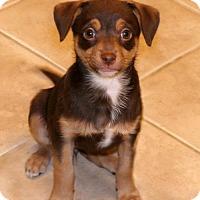 Adopt A Pet :: Ziva - Rochester, NY
