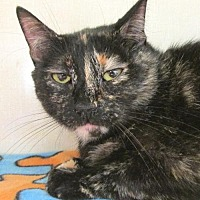 Domestic Mediumhair Cat for adoption in Conroe, Texas - Misse