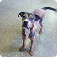 Shepherd (Unknown Type) Mix Dog for adoption in Las Vegas, Nevada - Amazon