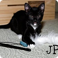 Domestic Shorthair Kitten for adoption in BROOKSVILLE, Florida - J.P. Redland
