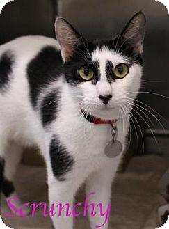 Domestic Shorthair Cat for adoption in Bradenton, Florida - Scrunchy