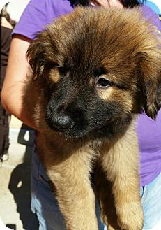 Shepherd (Unknown Type) Mix Puppy for adoption in Detroit, Michigan - Jacoby-Adopted!