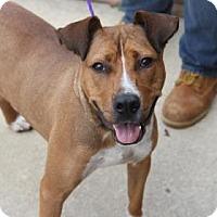 Pit Bull Terrier Mix Dog for adoption in Greensboro, North Carolina - Mason