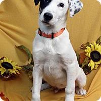 Adopt A Pet :: PONGO - Westminster, CO