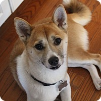 Shiba Inu Dog for adoption in Manassas, Virginia - Momiji