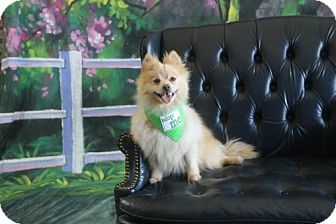 Pomeranian Dog for adoption in Dallas, Texas - Mercury