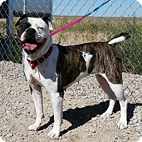 American Bulldog Dog for adoption in Sterling, Colorado - Roxie