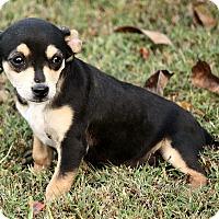 Adopt A Pet :: Ozzie - Allentown, PA
