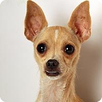Adopt A Pet :: Memory Chi - St. Louis, MO