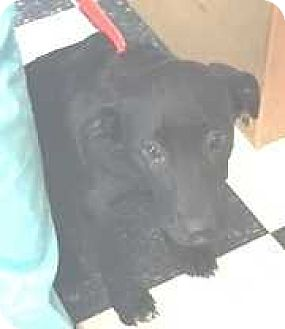 Labrador Retriever Mix Puppy for adoption in Dawson, Georgia - Frankie