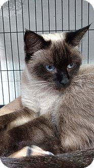 Siamese Cat for adoption in Yuba City, California - chloe