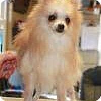 Pomeranian Mix Dog for adoption in Sparta, New Jersey - Loki