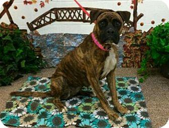 Boxer Dog for adoption in Austin, Texas - Wednesday