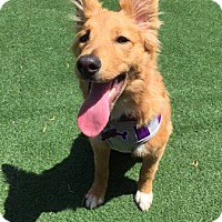 Welsh Corgi/Sheltie, Shetland Sheepdog Mix Dog for adoption in Lomita, California - Luna