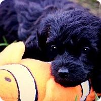 Adopt A Pet :: LULU(OUR