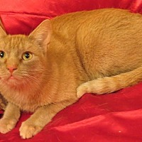 Adopt A Pet :: Cheeto - St. Louis, MO