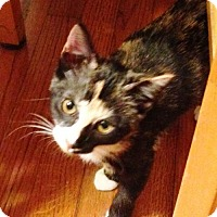 Adopt A Pet :: KITTEN-PATCHES - DeLand, FL