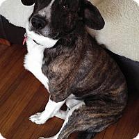 Adopt A Pet :: Chance - Maple Grove, MN