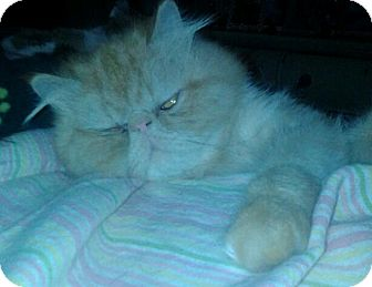 Persian Cat for adoption in Columbus, Ohio - Sunshine