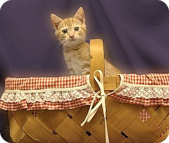 Domestic Shorthair Kitten for adoption in Richmond, Virginia - Toby