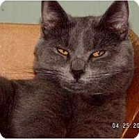 Domestic Shorthair Cat for adoption in Milford, Ohio - Blue Bear
