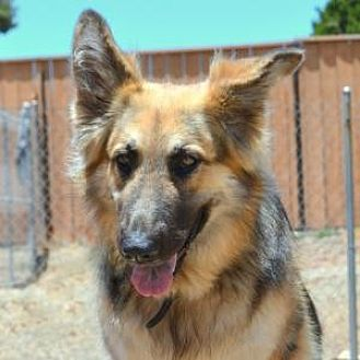 German Shepherd Dog Dog for adoption in San Diego, California - Topaz