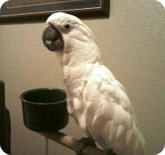 Cockatoo for adoption in Shawnee Mission, Kansas - Tia