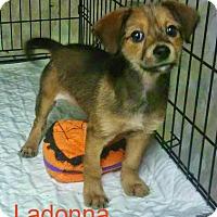 Adopt A Pet :: Ladonna - House Springs, MO