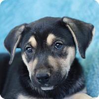 Adopt A Pet :: Janika - Danbury, CT