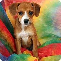 Adopt A Pet :: Landon Minpin Dash - St. Louis, MO