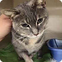 Domestic Shorthair Cat for adoption in Rye, New York - Jasmine