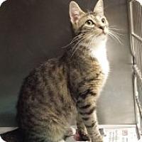 Domestic Shorthair Cat for adoption in Joplin, Missouri - Ramona 3772