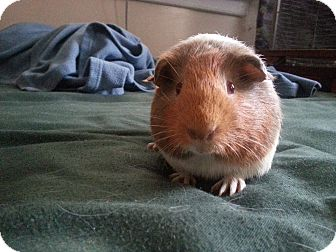 Guinea Pig for adoption in Harleysville, Pennsylvania - Apple