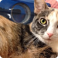 Calico Cat for adoption in Hesperia, California - Silvia