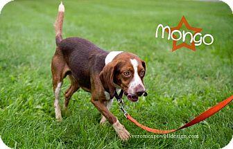 Beagle Dog for adoption in Kendallville, Indiana - Mongo