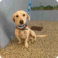 Chihuahua Dog for adoption in San Bernardino, California - URGENT ON 10/4  San Bernardino