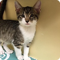 Adopt A Pet :: Stormy - Maryville, MO