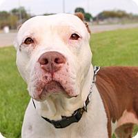 Adopt A Pet :: Pippa - Wyandotte, MI