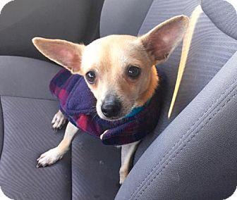 Chihuahua Dog for adoption in Houston, Texas - Mojo