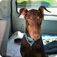 Doberman Pinscher Dog for adoption in Fort Worth, Texas - Bailey