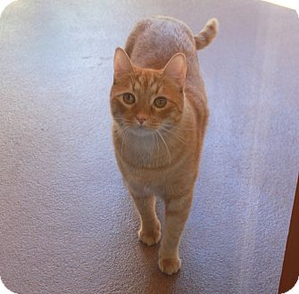 Domestic Shorthair Cat for adoption in Sedona, Arizona - Loki