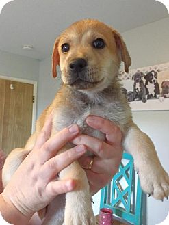 Labrador Retriever/Shepherd (Unknown Type) Mix Puppy for adoption in Chino Hills, California - Caraway - Chino Hills