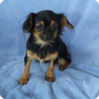 Chihuahua Dog for adoption in Temecula, California - Gypsy